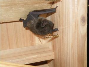 コウモリと冬の季節 冬眠