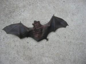 これからコウモリ被害が増える時期