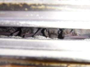 愛知県田原市 コウモリが壁の中で生息