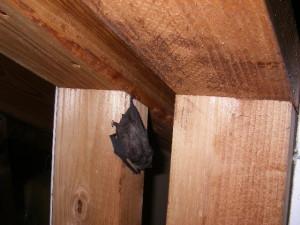 お盆期間中に発見された生息していたコウモリ